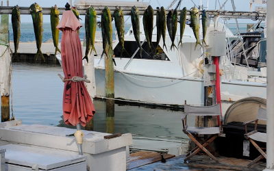 Dolphinfish Season in Destin, Florida