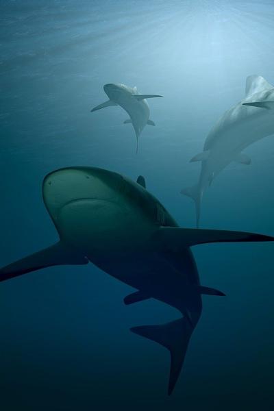 Bull Sharks in Destin, Florida